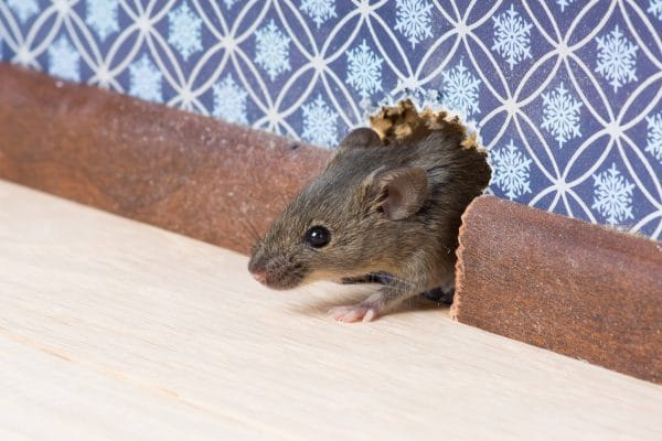 The Best Way to Get Rid of Mice - ScorpionTech
