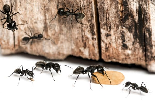 Are There Carpenter Ants in Your Home