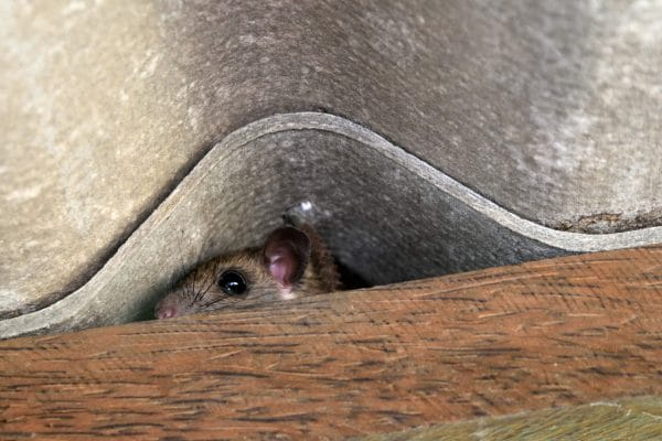 Controlling Roof Rats