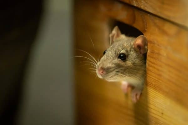 Don't Let Mice Find a Winter Home With You!