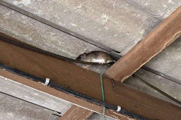 What Are Roof Rats?