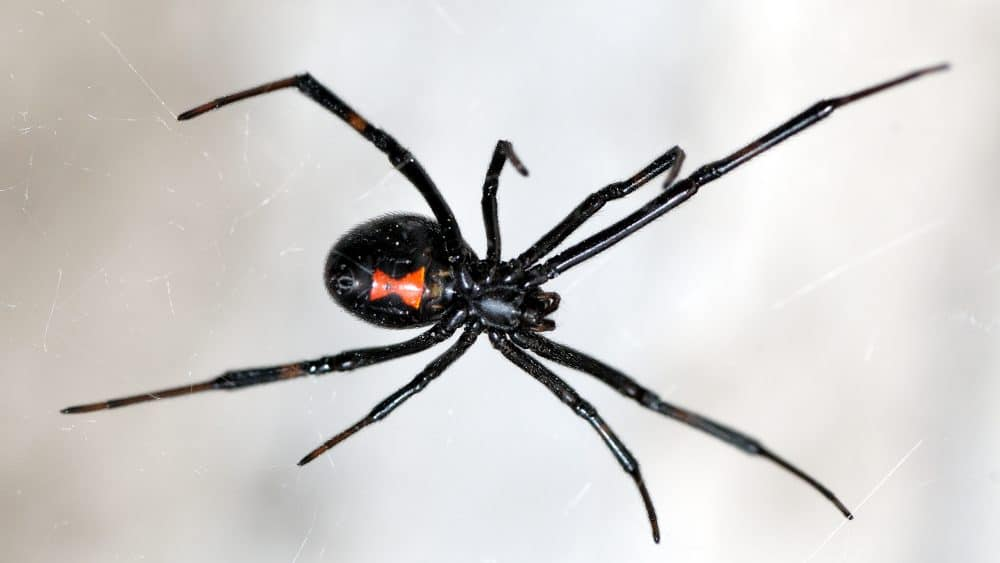 Watch for Black Widow Spider Webs