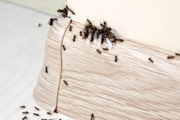 Keeping Little Black Ants Out