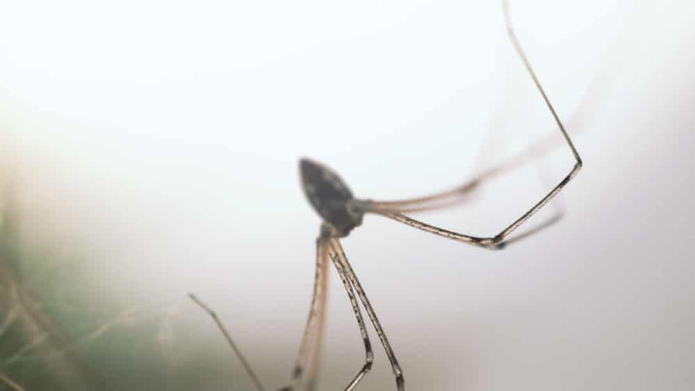 Get To Know The Desert Recluse Spiders