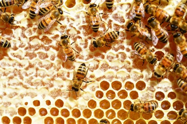 Watch Out for Africanized Honey Bees!