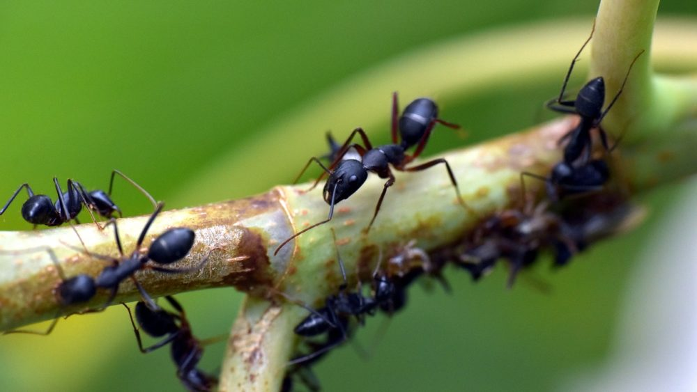 Pavement Ants are a Big Pest!